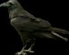 ravenshaw's Avatar